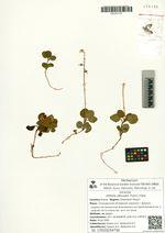 Orthilia obtusata (Turcz.) Hara