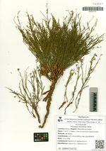 Polygala tenuifolia Willd.