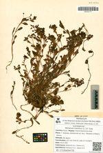 Mertensia maritima (L.) S.F. Gray