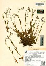 Myosotis asiatica Waldst. et Kit.