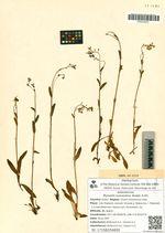 Myosotis suaveolens Waldst. & Kit.