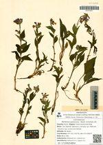 Mertensia pubescens  (Roem. et Schult.) DC.