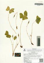 Oxalis obtriangulata Maxim.