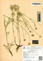 Scabiosa lachnophylla Kitag.