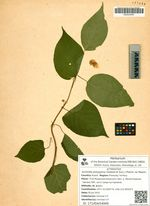 Actinidia polygama (Siebold et Zucc.) Planch. ex Maxim.