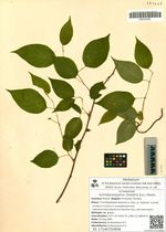 Actinidia polygama (Siebold & Zucc.) Maxim.