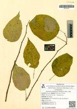 Actinidia polygama (Siebold & Zucc.) Mig.