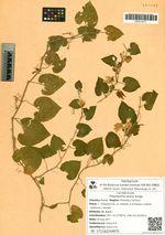 Thladiantha dubia Bunge
