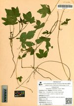 Humulus scandens (Lour.) Merr.