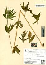 Cannabis ruderalis Janisch.