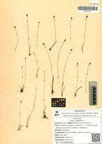 Juncus biglumis L.