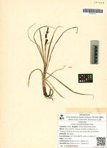 Carex membranacea Hook.