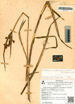 Bolboschoenus desoulavii  (Drobow) A.E. Kozhevn.