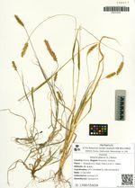 Setaria glauca (L.) Beauv.