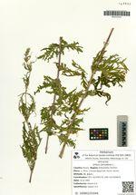 Urtica cannabina L.