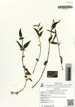 Urtica angustifolia Fisch. ex Hornem.