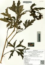 Aconitum axilliflorum Worosch.