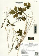 Ranunculus japonicus Thunb.