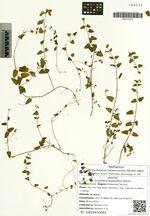 Scutellaria dependens Maxim.