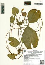 Nymphoides peltata (S.G. Gmel.) O. Kuntze