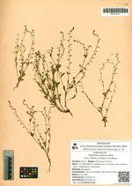 Trigonotis peduncularis (Trev.) Benth. ex Baker et S.Moore
