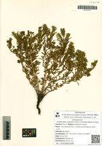 Amblynotus rupestris (Pall. ex Georgi) Popov ex Serg.