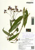 Lagedium sibiricum (L.) Sojàk