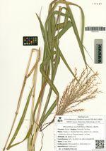Miscanthus sacchariflorus (Maxim.) Benth.