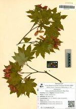 Acer pseudosieboldianum (Pax) Kom.