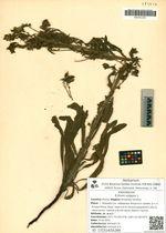 Echium vulgare L.