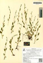 Trigonotis myosotidea (Maxim.) Maxim.
