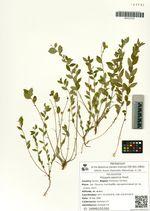 Polygala japonica Houtt.