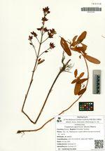 Triadenum japonicum (Blume) Makino