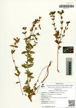 Hypericum attenuatum Choisy