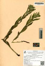 Lithospermum erythrorhizon Siebold et Zucc.