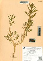 Chenopodium glaucum L.