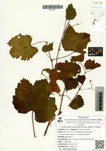 Ampelopsis brevipedunculata (Maxim.) Trautv.