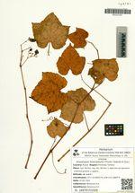 Ampelopsis heterophylla (Thunb.) Siebold et Zucc.