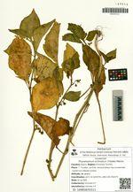 Physaliastrum echinatum (Yatabe) Makino