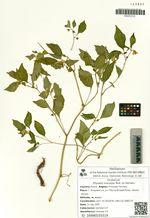 Physalis ixocarpa Brot. ex Hornem.