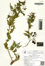 Solanum septemlobum Bunge