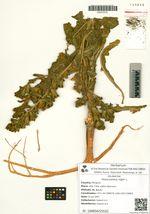 Hyoscyamus niger L.