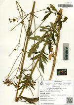 Patrinia scabiosifolia Fisch. ex Link