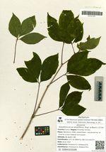 Eleutherococcus sessiliflorus (Rupr. & Maxim.) S.Y.Hu