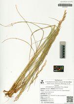 Achnatherum splendens (Trin.) Nevski