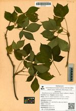 Eleutherococcus senticosus (Rupr. & Maxim.) Maxim.