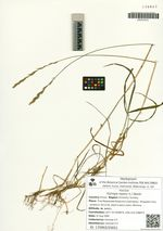 Elytrigia repens (L.) Nevski