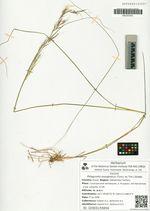Ptilagrostis mongholica (Turcz. ex Trin.) Griseb.