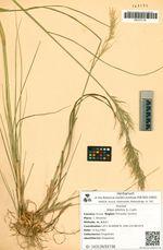 Stipa sibirica (L.) Lam.
