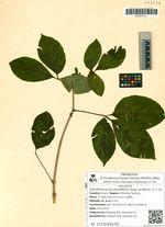 Eleutherococcus sessiliflorus (Rupr. et Maxim.) S. Y. Hu